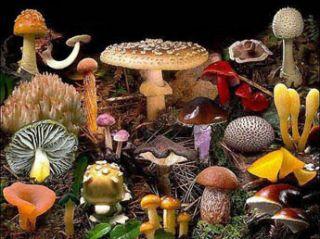 hongos especies: