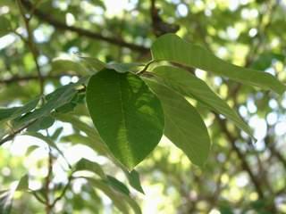 Comprueban efecto antidiabético de hojas de chirimoya - El