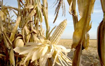 El maiz criollo en mexico